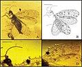 Stictosisyra pennyi fig 1.jpg