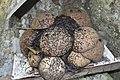 Stingless Bees of Bicol, Philippines.jpg