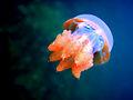 Stingless jellyfish.jpg