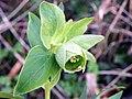 Stinking Hellebore (Helleborus foetidus) (8423796959).jpg