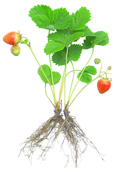 Talaksan:Strawberry Seedling.jpg