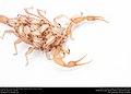 Striped Bark Scorpion (Buthidae, Centruroides vittatus (Say)) (36906273395).jpg