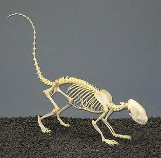 Striped skunk - Skeleton on exhibit at The Museum of Osteology, Oklahoma City, Oklahoma