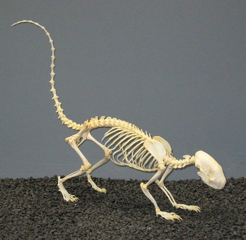 Striped Skunk Skeleton