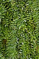 Styphnolobium japonicum Pendula in Jardin botanique de la Charme.jpg