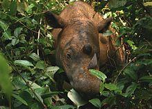 Tête d'un Rhinocéros de Sumatra vue de face, qui émerge au milieu des feuilles d'un arbuste.