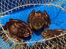 Three frogs sitting facing each other in a blue container, with a half-opened net over it