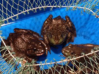 American bullfrog - Bullfrogs in an Asian supermarket