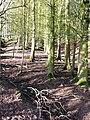 Surprise woodland - geograph.org.uk - 669994.jpg