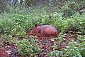 Sus scrofa - Wild boar during Periyar butterfly survey at Sabarimala, 2014 (40).jpg