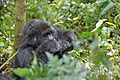 Susa group, mountain gorillas - Flickr - Dave Proffer (24).jpg