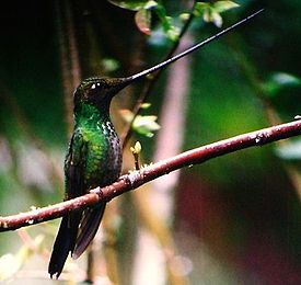 Sword-billed Hummingbird (Ensifera ensifera)-2.jpg