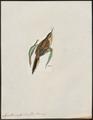 Synallaxis rufigularis - 1820-1860 - Print - Iconographia Zoologica - Special Collections University of Amsterdam - UBA01 IZ19200143.tif