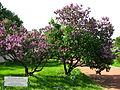 Syringarium - Botanical Garden 02.JPG