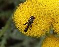 Syritta pipiens (35121171234).jpg
