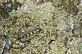 Syrphidae (45906613714).jpg