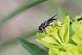 Syrphidae - Steiermark.jpg