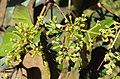 Syzygium zeylanicum 15.JPG