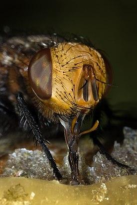Tachina fly gonia capitata feeding honey
