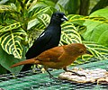Tachyphonus rufus -Asa Wright Nature Centre, Northern Range, Trinidad, Trinidad and Tobago -pair-8a-3c.jpg