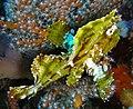 Taenianotus triacanthus 2.jpg