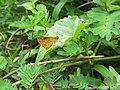 Taractrocera ceramas Hewitson, 1868 – Tawny-spotted Grass Dart from Parambikulam (5).jpg