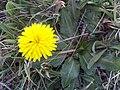 Taraxacum obovatum Closeup DehesaBoyaldePuertollano.jpg