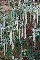 Tatton Park 2015 48 - Garrya elliptica.jpg