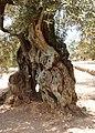 Tausend jähriger Olivenbaum, Spanien.jpg