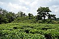 Tea Garden at Indo-Bhutan Border at Darranga, Assam.jpg