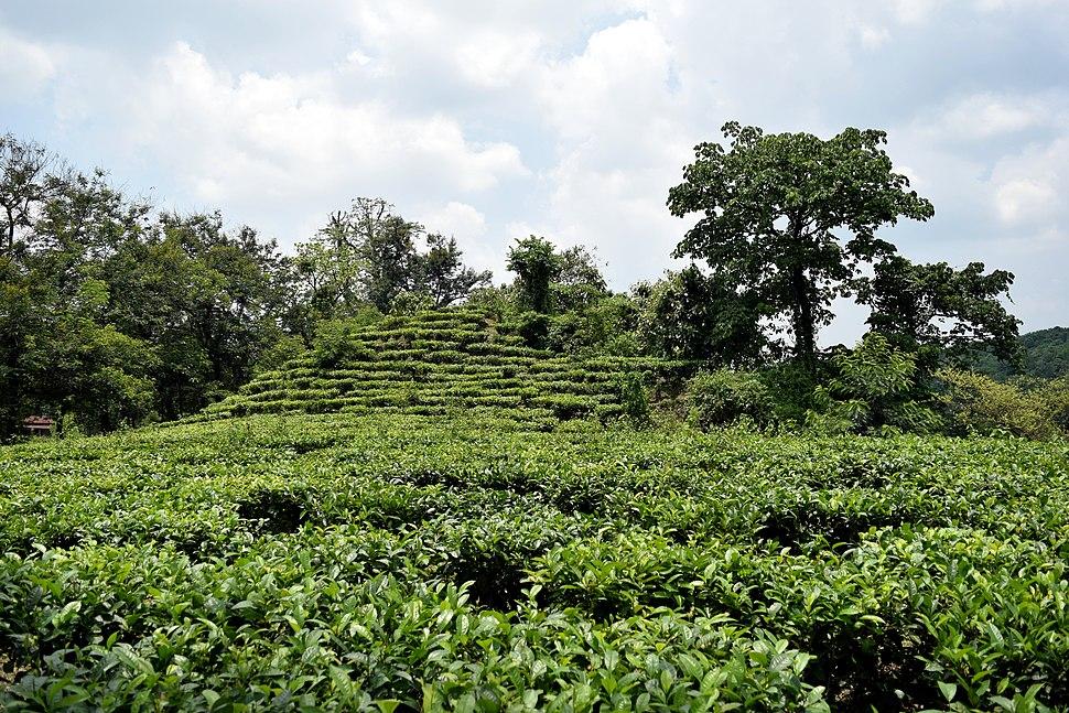 Tea Garden at Indo-Bhutan Border at Darranga, Assam