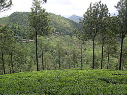 Tea plantations at Chinnar, near Elappara