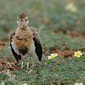 Temminck's courser, Cursorius temminckii, at Mapungubwe National Park, Limpopo Province, South Africa (31921733387).jpg