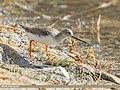 Terek Sandpiper (Xenus cinereus) (50406093762).jpg