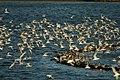 Terns at Cemlyn - geograph.org.uk - 670399.jpg