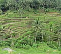 Tetallalang - Rice Paddies - panoramio (2).jpg
