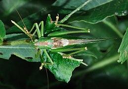 Tettigonia viridissima qtl3.jpg