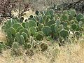 Texas Pricklypear - Flickr - treegrow.jpg