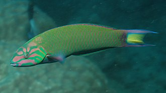 Sequential hermaphroditism - Moon wrasse, Thalassoma lunare, a protogynous animal species