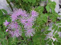Thalictrum aquilegifolium a1