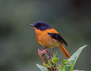 Black-and-orange flycatcher - Image: The Black and Orange Flycatcher