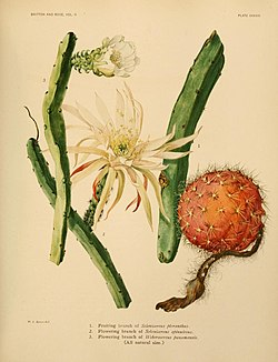 The Cactaceae (Plate XXXVIII) (7979564669).jpg