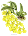 The Orchid Album-01-0008-0001-Oncidium concolor.png