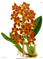 The Orchid Album-01-0083-0027-Odontoglossum brevifolium.png