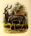 The book of antelopes (1894) Tragelaphus angasi.png