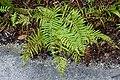 Thelypteris kunthii - McKee Botanical Garden - Vero Beach, Florida - DSC03112.jpg