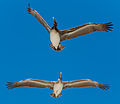 There pelicans were having a grand old time (8297621183).jpg