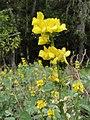 Thermopsis macrophylla.jpg