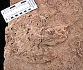 Theropod dinosaur footprint in sandstone (Kayenta Formation or Navajo Sandstone, Lower Jurassic; Potash-Poison Spider dinosaur tracksite, Williams Bottom, west of Moab, Utah, USA) 13 (33190866745).jpg