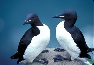 Thick-billed murre - Thick-billed murres in Alaska Maritime National Wildlife Refuge
